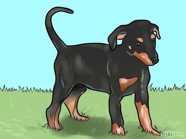 Cómo entrenar a un perro doberman