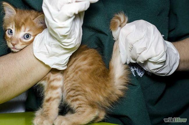Imagen titulada Compruebe fiebre del gato para el Paso 3
