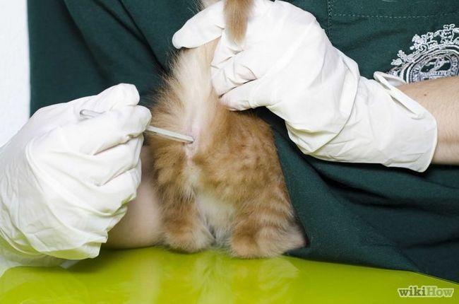 Imagen titulada Fiebre del gato para comprobar Paso 5
